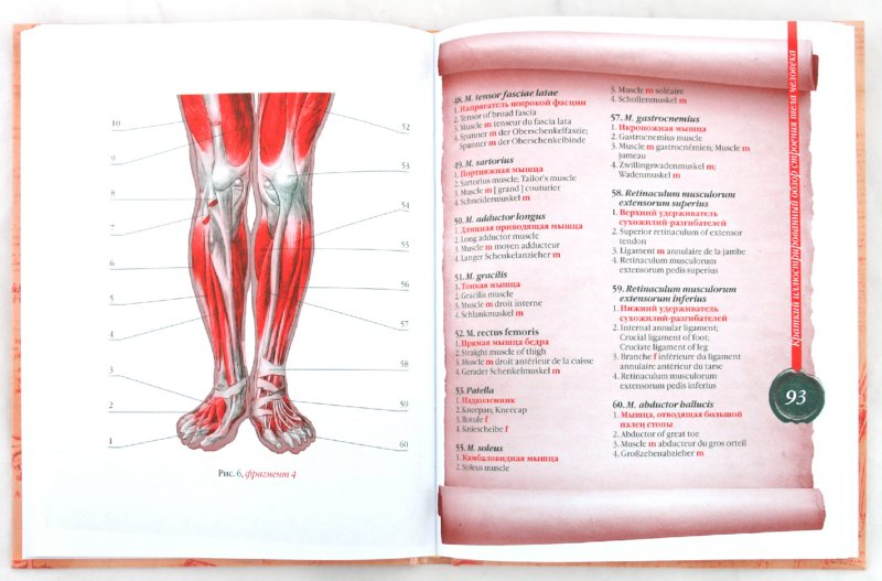 Иллюстрация 1 из 3 для Популярный атлас анатомии человека - Елисеев, Россоловский | Лабиринт - книги. Источник: Лабиринт