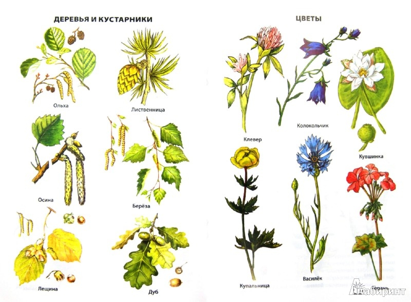 Растения в картинках и описание