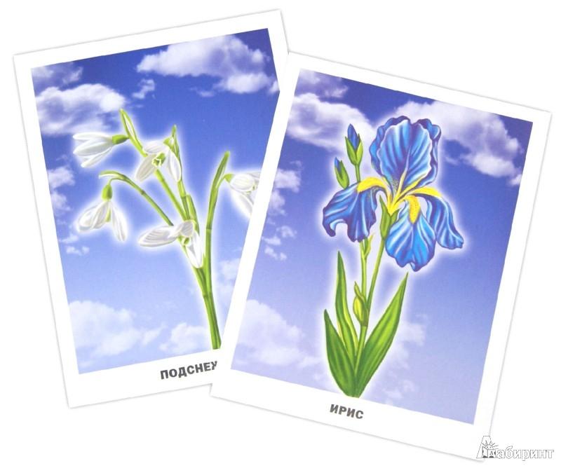 Иллюстрация 1 из 25 для Цветы. Обучающие карточки | Лабиринт - книги. Источник: Лабиринт