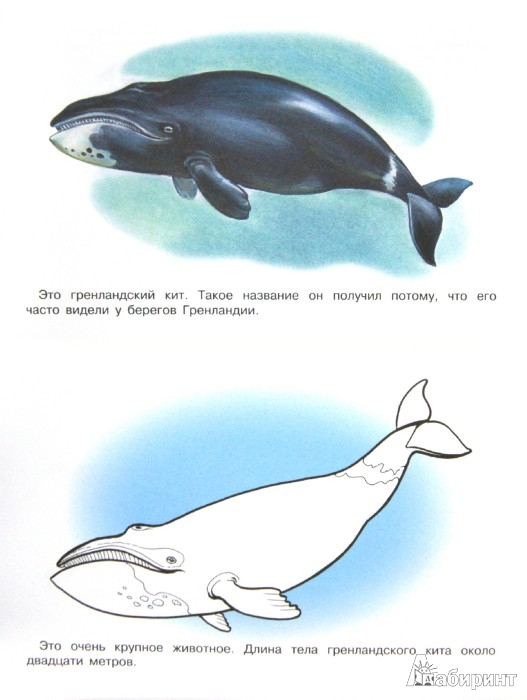 Раскраска животных арктики