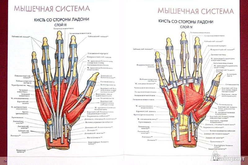 Иллюстрация 1 из 20 для Большой атлас анатомии человека | Лабиринт - книги. Источник: Лабиринт