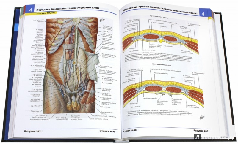 Иллюстрация 5 из 48 для атлас анатомии человека фрэнк неттер.