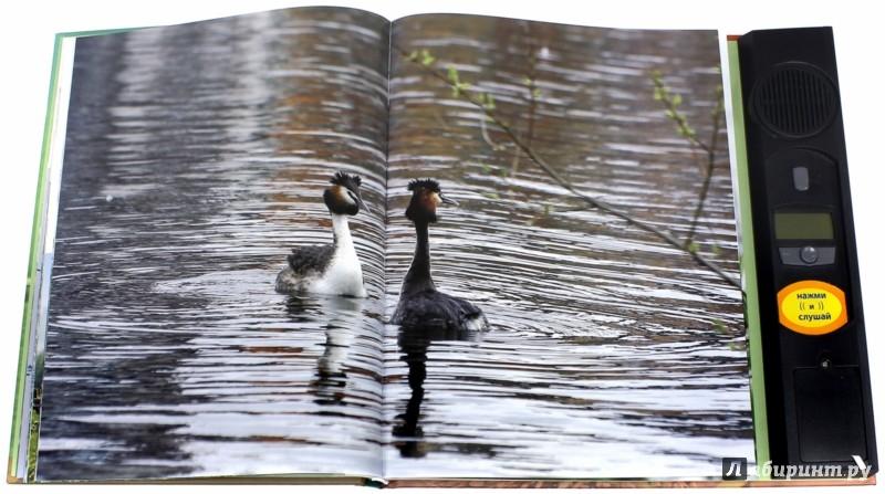 Иллюстрация 1 из 5 для Птицы. Водоплавающие и околоводные. Звуковая энциклопедия (утка) - Ксения Митителло | Лабиринт - книги. Источник: Лабиринт