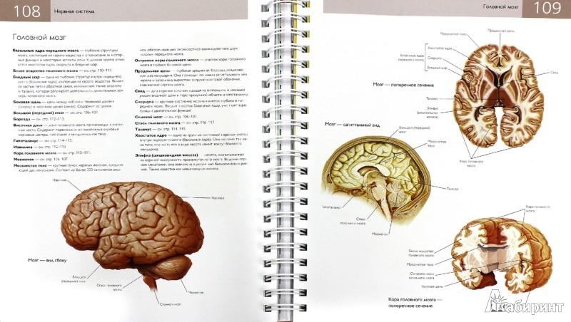 Иллюстрация 1 из 13 для Популярная анатомия человека. Подробное иллюстрированное руководство с тестами для самоконтроля - Кен Эшвелл | Лабиринт - книги. Источник: Лабиринт