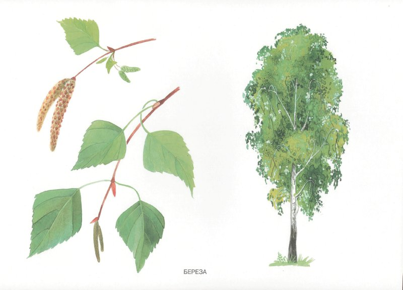 Иллюстрация 1 из 6 для Мир в картинках: Деревья и листья 3-7 лет | Лабиринт - книги. Источник: Лабиринт