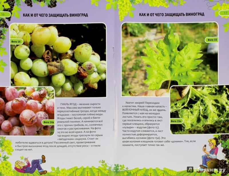 Иллюстрация 1 из 13 для Как и от чего защищать виноград - Николай Курдюмов | Лабиринт - книги. Источник: Лабиринт