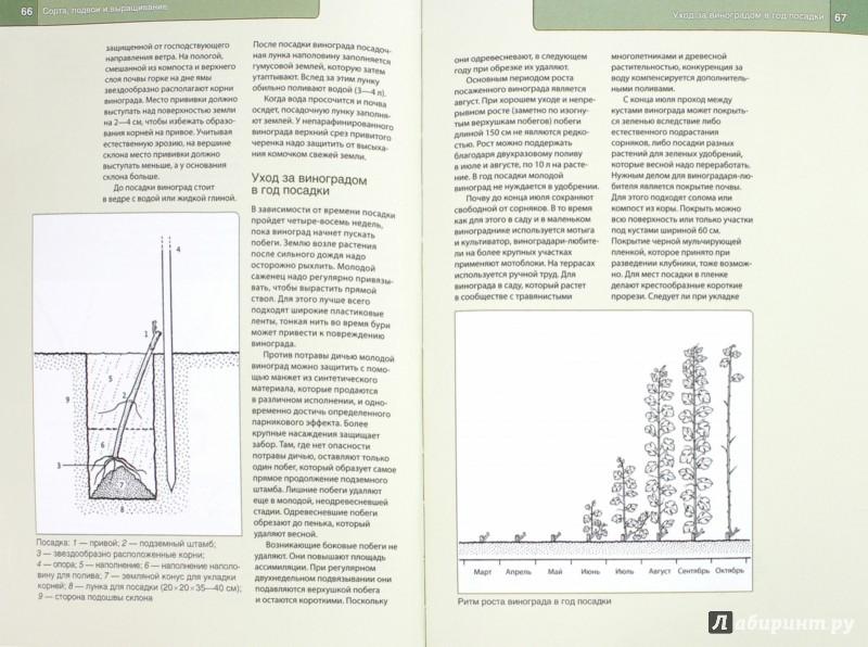 Иллюстрация 1 из 10 для Выращиваем вкусный виноград для себя - Герд Ульрих | Лабиринт - книги. Источник: Лабиринт