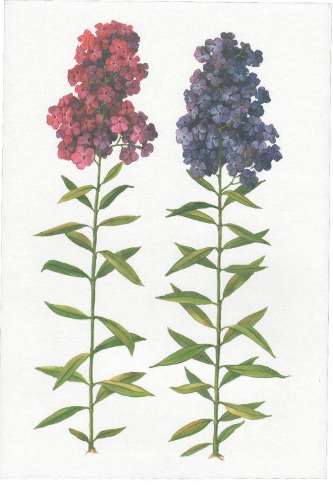 Иллюстрация 1 из 7 для Цветы садовые. Демонстрационный материал для фронтальных занятий | Лабиринт - книги. Источник: Лабиринт