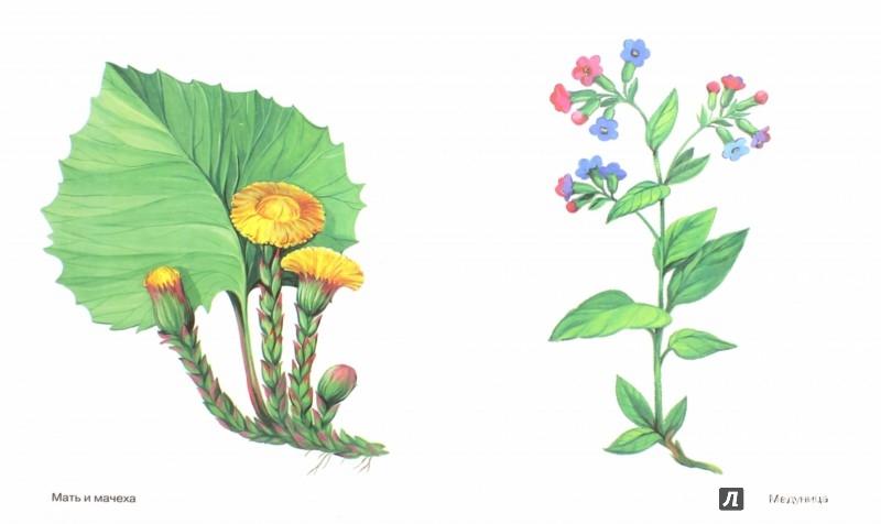Иллюстрация 1 из 17 для Цветы в картинках. Наглядное пособие для педагогов, логопедов, воспитателей и родителей | Лабиринт - книги. Источник: Лабиринт