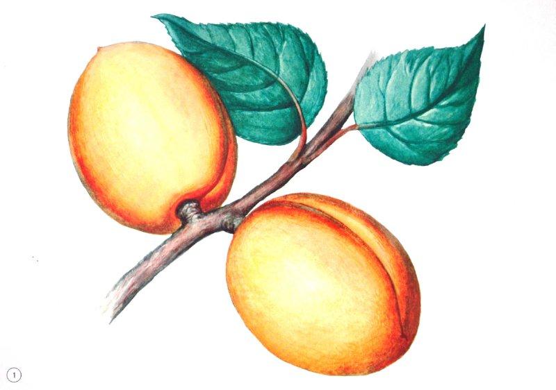 Иллюстрация 1 из 6 для Демонстрационный материал А4 Фрукты и ягоды | Лабиринт - книги. Источник: Лабиринт