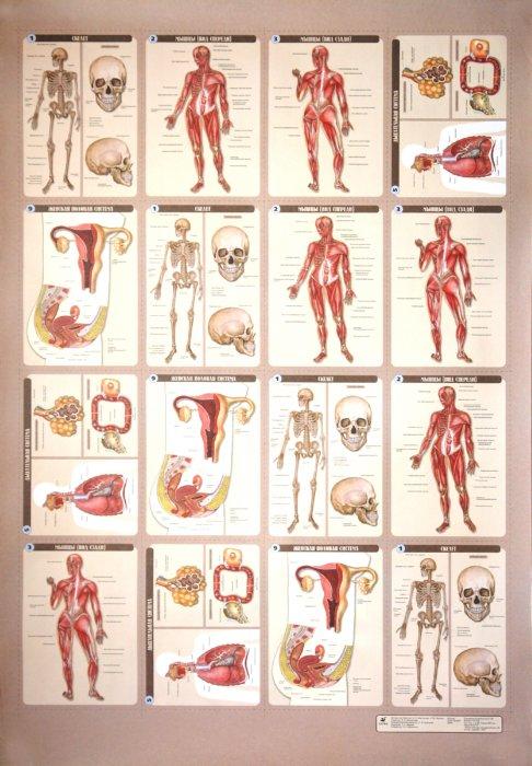 Иллюстрация 1 из 2 для Раздаточные материалы к комплекту таблиц по анатомии - Таценко, Морзунова   Лабиринт - книги. Источник: Лабиринт