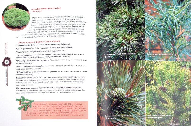 Иллюстрация 1 из 11 для Хвойные растения в вашем саду   Лабиринт - книги. Источник: Лабиринт