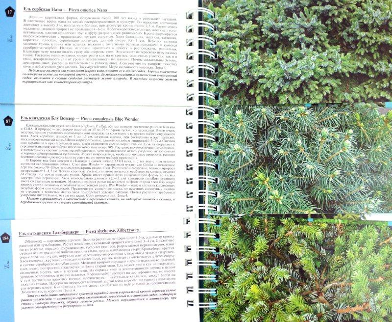 Иллюстрация 1 из 20 для Миллион хвойных деревьев и кустарников - Наталия Кузнецова | Лабиринт - книги. Источник: Лабиринт