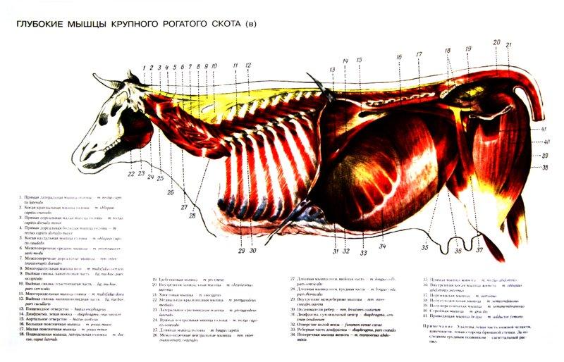 анатомический атлас животных в картинках около