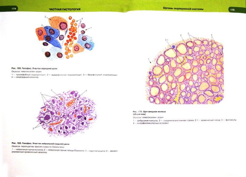 Иллюстрация 1 из 30 для Гистология, цитология и эмбриология. Атлас - Быков, Юшканцева | Лабиринт - книги. Источник: Лабиринт