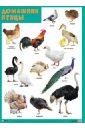 Плакат Домашние птицы