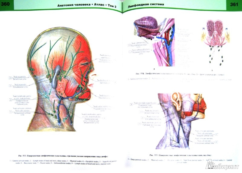 Иллюстрация 1 из 24 для Атлас анатомии человека. В 3-х томах. Том 2 - Билич, Крыжановский | Лабиринт - книги. Источник: Лабиринт