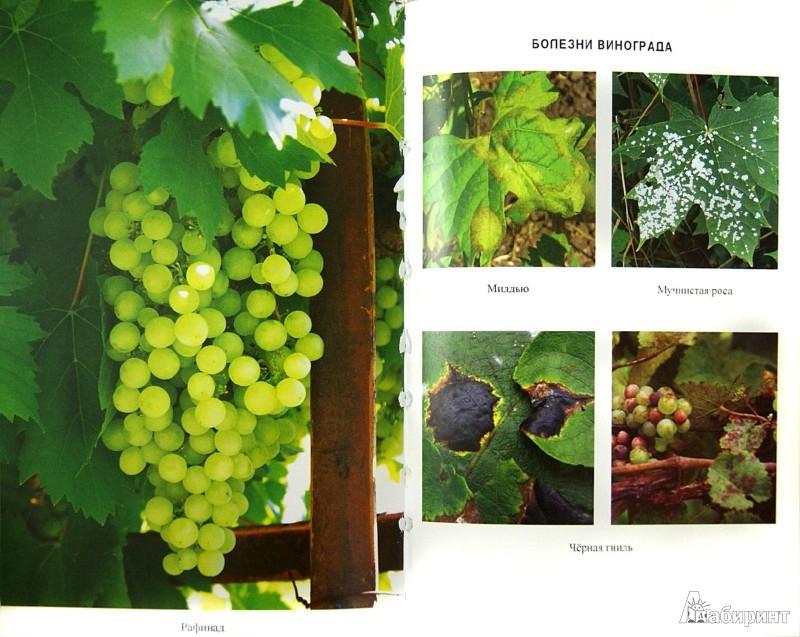 Иллюстрация 1 из 4 для Все о винограднике на приусадебном участке - Сергей Малай   Лабиринт - книги. Источник: Лабиринт