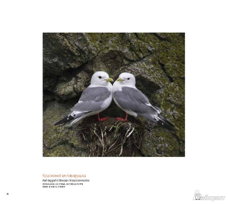 Иллюстрация 1 из 14 для Птицы России - Валерий Малеев | Лабиринт - книги. Источник: Лабиринт
