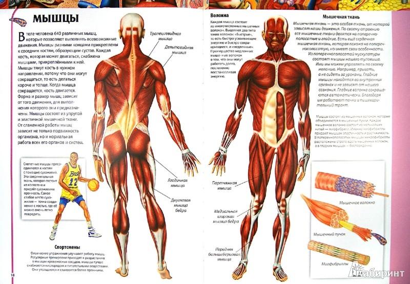 Иллюстрация 1 из 41 для Детский атлас анатомии - Винченцо Гуиди | Лабиринт - книги. Источник: Лабиринт
