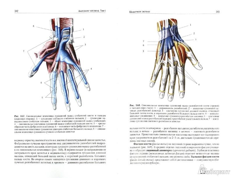 Иллюстрация 1 из 13 для Анатомия человека. Учебник. В 2-х томах. Том 1 - Сапин, Николенко, Никитюк, Чава | Лабиринт - книги. Источник: Лабиринт