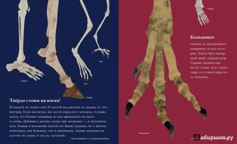 Иллюстрация 1 из 41 для Кости и скелеты - Стив Дженкинс | Лабиринт - книги. Источник: Лабиринт