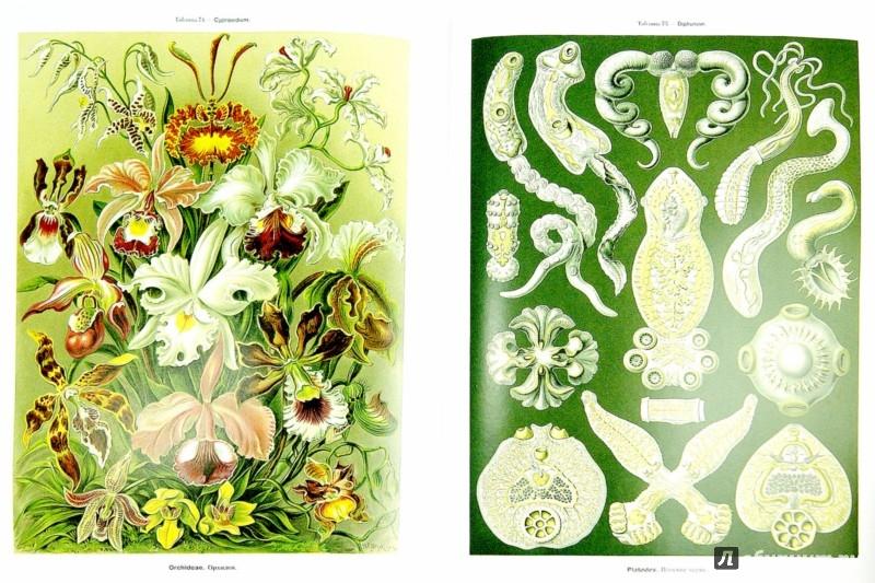 Иллюстрация 1 из 4 для Красота форм в природе - Эрнест Геккель | Лабиринт - книги. Источник: Лабиринт