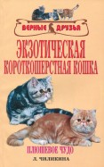 Экзотическая короткошерстная кошка. Плюшевое чудо