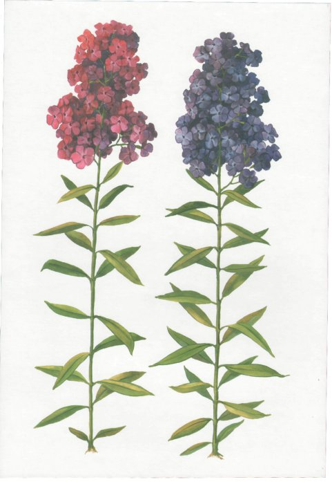 Иллюстрация 1 из 7 для Цветы садовые. Демонстрационный материал для фронтальных занятий   Лабиринт - книги. Источник: Лабиринт
