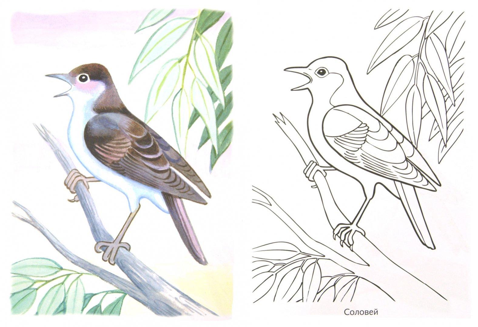 раскраски перелетных птиц с картинками благотворно влияет
