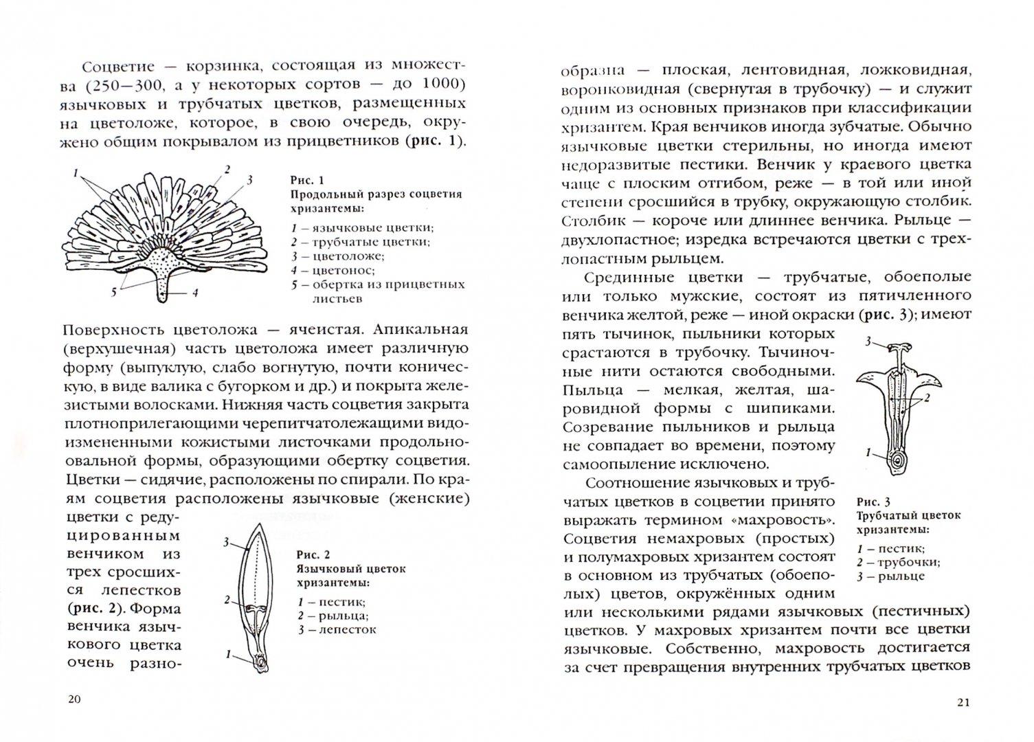 Иллюстрация 1 из 6 для Хризантемы в вашем саду - Наталия Кузнецова | Лабиринт - книги. Источник: Лабиринт