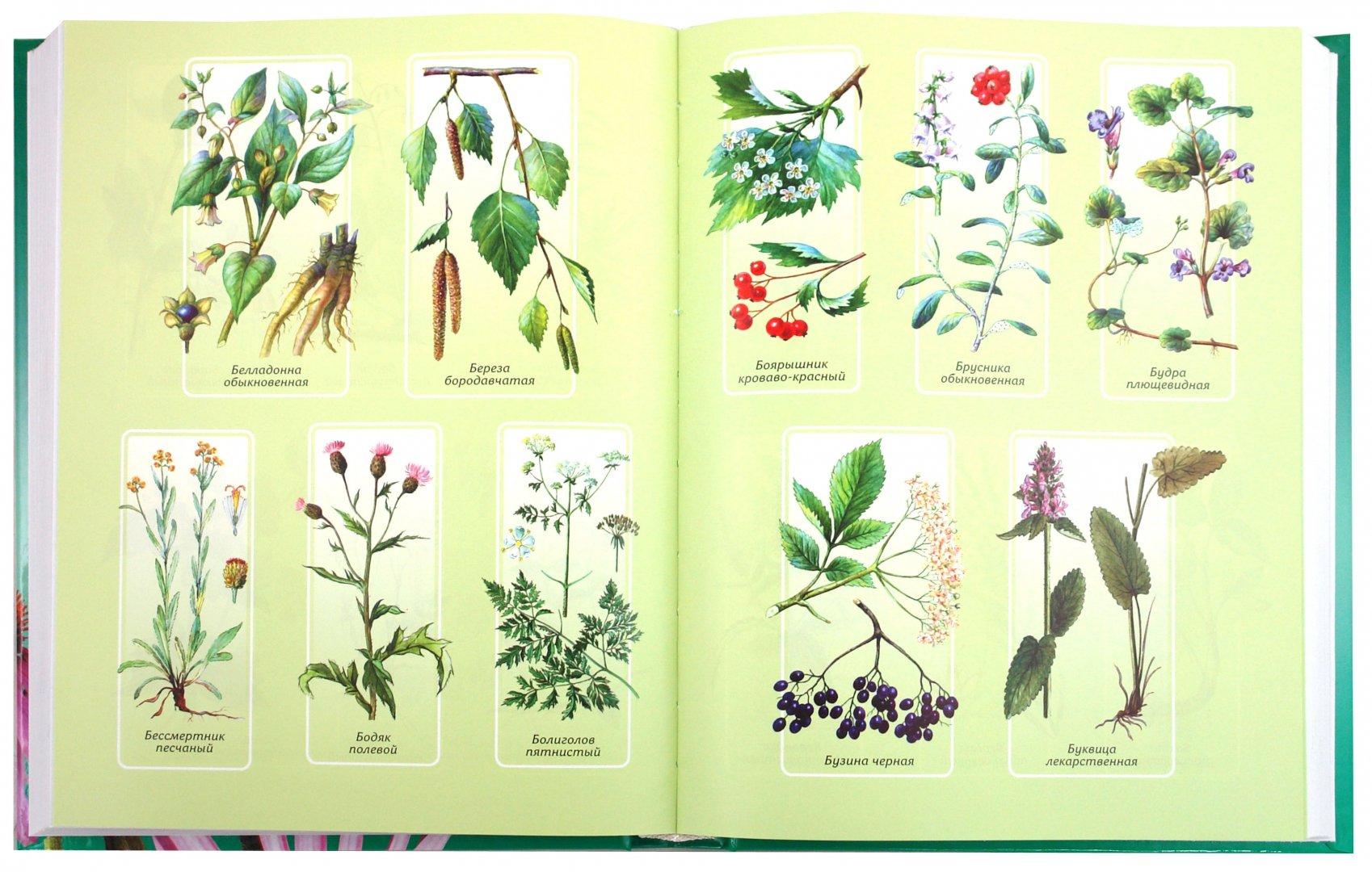 представляем справочник лечебных трав в картинках охотно