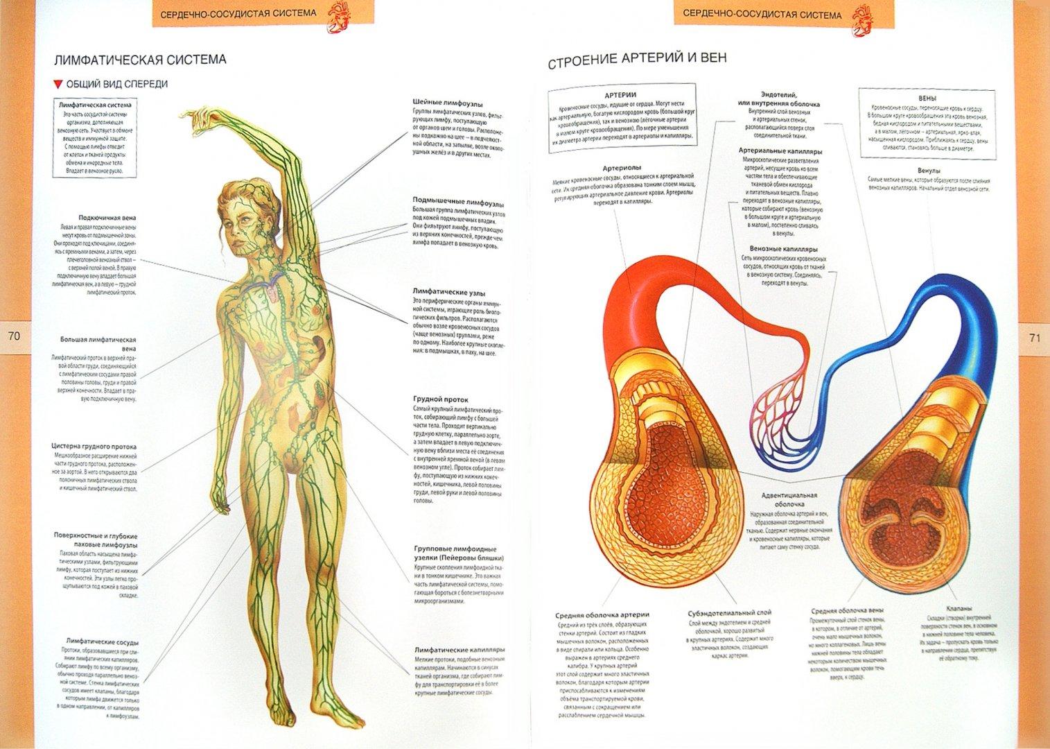 Иллюстрация 1 из 8 для Анатомический атлас. Основы строения и физиологии человека | Лабиринт - книги. Источник: Лабиринт