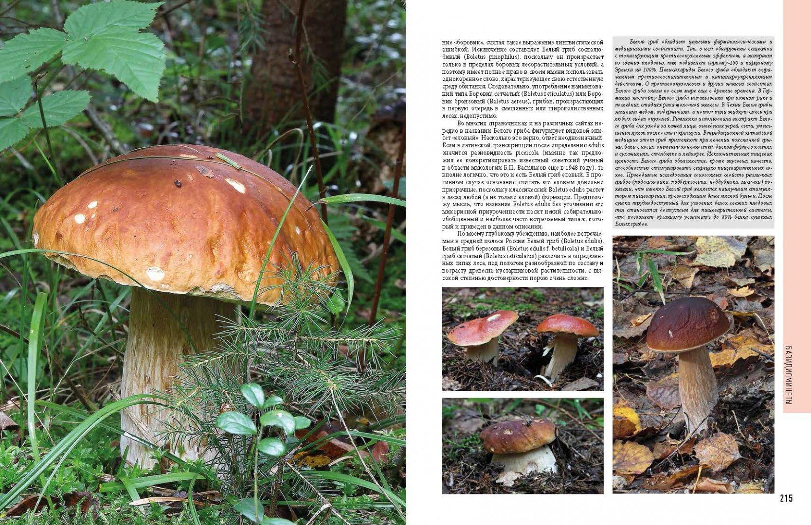 воспринимаем каталог грибов с фото и описанием россии грибная