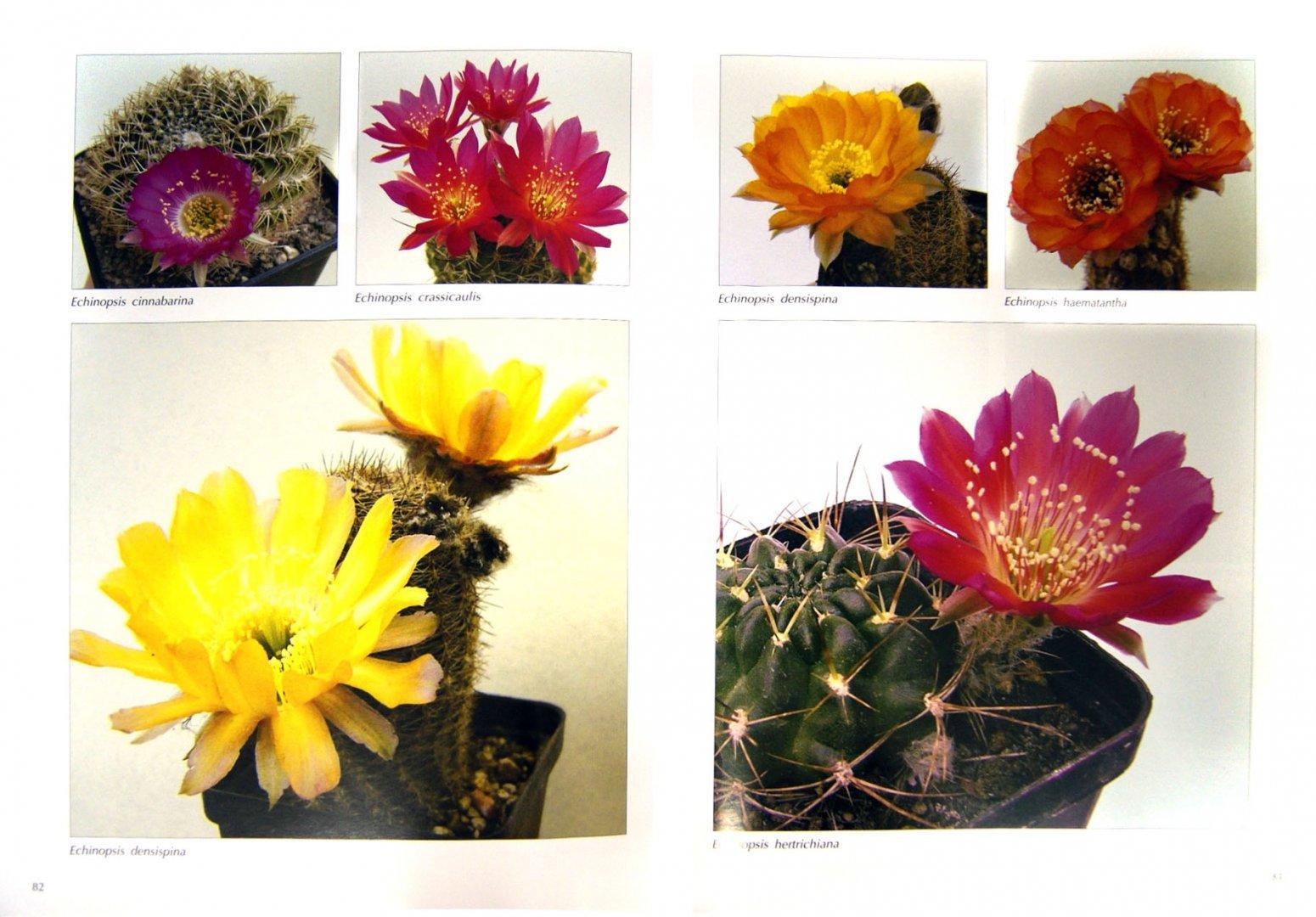 Иллюстрация 1 из 4 для Мои кактусы: Руководство по уходу за кактусами и другими суккулентами для всех любителей растений - Хельга Мозес | Лабиринт - книги. Источник: Лабиринт