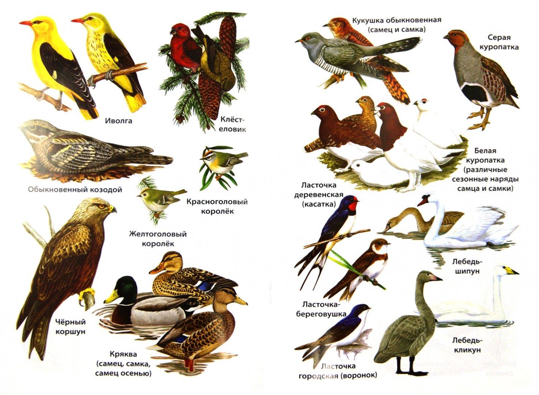 Названия птиц с фотографиями